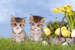 Chats, Pâques, avec des jonquilles sur l'herbe Photographie stock libre de droits