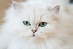 Chats persans blancs Photos libres de droits