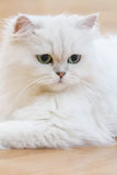 Chats persans blancs Photos stock
