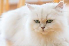 Chats persans blancs Image libre de droits
