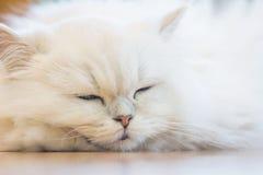 Chats persans blancs Photo libre de droits
