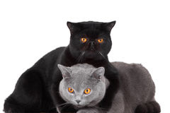 Chats persans bleus et noirs britanniques Photographie stock