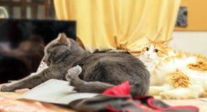 Chats rouges et gris photographie stock libre de droits