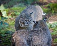 Chats sauvages Photos libres de droits