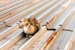 Chats sur un toit chaud de bidon Images libres de droits