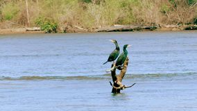 Chattahoochee River, GA, Two Cormorant birds on a branch, Slow motion. This is two Cormorant birds on a branch sticking out of the Chattahoochee River stock video