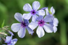 Chattahoochee violette purpere bloemen van floxdivaricata, sier wilde installatie in bloei stock fotografie