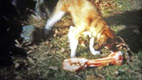 CHATTANOOGA, USA - 1956: looking style dog is confused seeing a giant bone. stock video