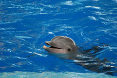 Chattering Dolphin with his Mouth Open royalty free stock image