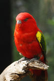 Chattering lory, ζωολογικός κήπος της Αδελαΐδα, Νότια Αυστραλία Στοκ φωτογραφία με δικαίωμα ελεύθερης χρήσης