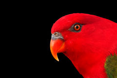 Chattering Lory Royalty Free Stock Images
