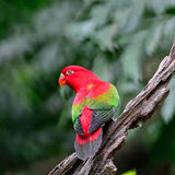 Chattering Lory Stock Photography