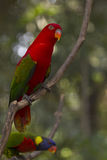Chattering Lory bird Royalty Free Stock Photo