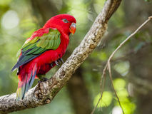 Chattering Lory. Close-up image of Chattering Lory living in a bird sanctuary near Plettenberg Bay, South Africa Royalty Free Stock Photo