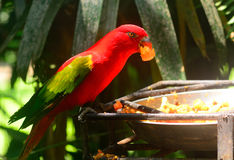 Chattering lory Stock Photos
