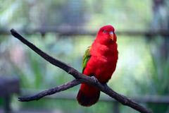 Chattering lory Royalty Free Stock Image