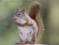 Chattering Squirrel Stock Photography