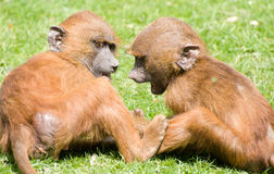 Chatting Baby Monkeys Royalty Free Stock Photos