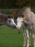 Chatting Foals Royalty Free Stock Photo