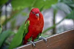 A chatting lory on a fence. This is a chatting lory resting on a fence royalty free stock photography