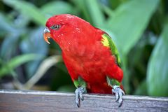 A chatting lory on a fence. This is a chatting lory resting on a fence royalty free stock images