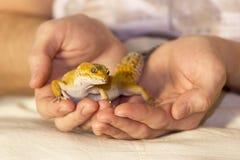 Chauffage mignon de gecko dans des mains photographie stock libre de droits