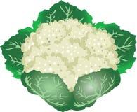 Chauliflower, légume de ferme tropicale Vecteur - illustration illustration de vecteur