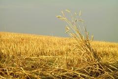 Chaume avec des épis de blé Image libre de droits