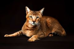 Chausie, abyssinian cat on dark brown background.  royalty free stock image