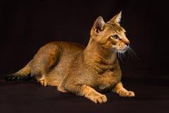 Chausie abyssinian katt på bakgrund för mörk brunt arkivfoto
