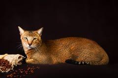 Chausie, abyssinische Katze auf dunkelbraunem Hintergrund Stockfoto