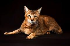Chausie, abyssinische Katze auf dunkelbraunem Hintergrund Lizenzfreies Stockbild
