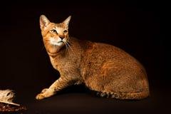 Chausie, abyssinische Katze auf dunkelbraunem Hintergrund Stockfotografie
