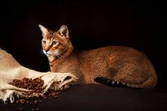 Chausie, abyssinische Katze auf dunkelbraunem Hintergrund Stockbild