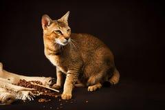 Chausie, abyssinische Katze auf dunkelbraunem Hintergrund Lizenzfreies Stockfoto