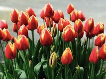 Chaussure en bois Tulip Festival de tulipes jaunes et oranges Images libres de droits