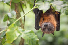 Chauve-souris à lunettes de Fox de vol mangeant des figues Photos stock