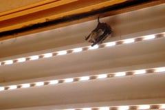 Chauve-souris dormant dans une fenêtre image stock