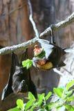 Chauves-souris mangeant la pastèque image stock