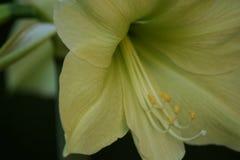 Chaux de citron d'Amarylis Photographie stock