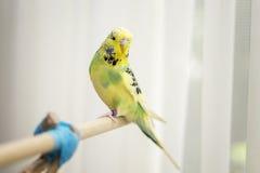 Chaux et perruche pie de jaune Image libre de droits