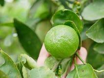 Chaux fraîche verte dans une main du ` s d'agriculteur dans une ferme étant vérifiée sa qualité photo stock