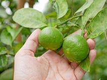 Chaux fraîches vertes dans une main du ` s d'agriculteur dans une ferme étant vérifiée leur qualité photo stock
