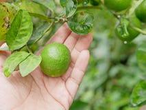 Chaux fraîches vertes dans une main du ` s d'agriculteur dans une ferme étant vérifiée leur qualité images libres de droits