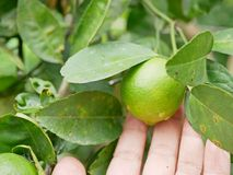 Chaux fraîches vertes dans une main du ` s d'agriculteur dans une ferme étant vérifiée leur qualité photographie stock libre de droits