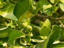 Chaux non mûres sur un arbre Image libre de droits