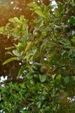Chaux s'élevant sur l'arbre Images libres de droits