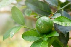 Chaux vertes accrochant sur un arbre dans le jardin Photographie stock libre de droits