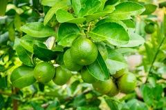 Chaux vertes de citron sur l'arbre dans le jardin organique Photographie stock