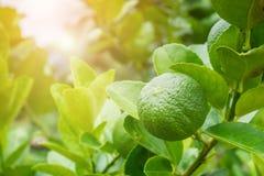 Chaux vertes fraîches de citron sur l'arbre dans le jardin Image libre de droits